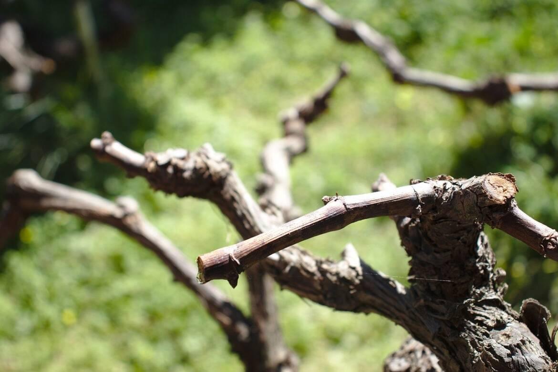 La potatura delle viti e i sistemi di allevamento